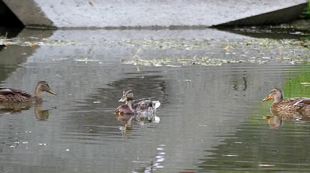 garganey : Wild Ducks Swimming in the Pond. the Action in Slow Motion.