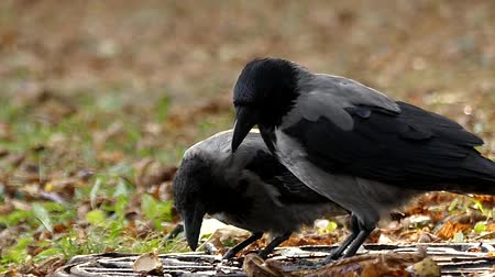 crows feet : Two Hooded Crow Drinking Water in Slow Motion. the Action in the Park. Stock Footage