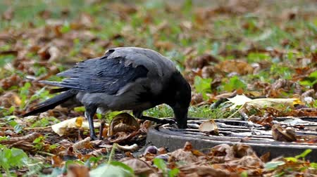 crows feet : One Hooded Crow Drinking Water in Slow Motion. the Action in the Park.