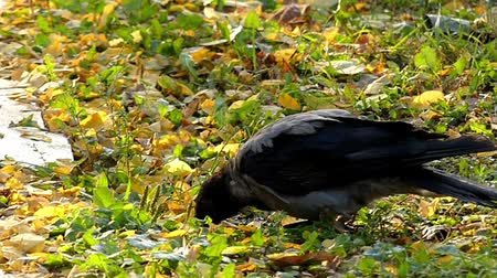 crows feet : Hooded Crow Drinking Water in Slow Motion. the Action on the Ground.