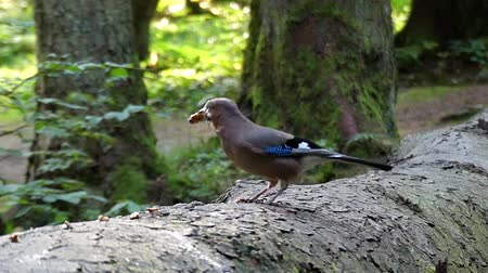 európa : Bird in the Forest Eating Nut in Slow Motion. Beautiful Action.
