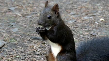 белка : Cute Black Squirrel in Slow Motion Eating Nut in the Forest.