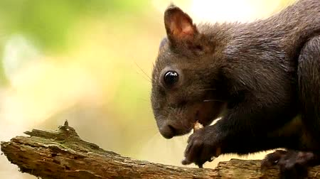 бдительный : Face of the Black Squirrel Chewing and Eating the Nut in Slow Motion. Close up Shot in the Forest.