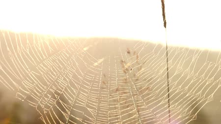 spider web : Amazing Spider Web in Sun Light With Dew.