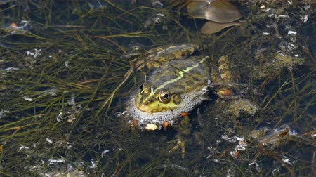 bullfrog : 4k - The big frog sitting in the mud. Stock Footage
