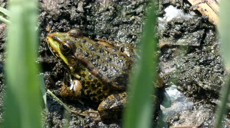 bullfrog : 4k - The green frog sitting in the mud and grass.