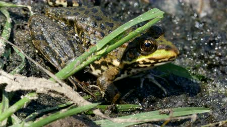 bullfrog : 4k - The green frog sitting in the mud. Stock Footage
