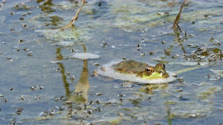 bullfrog : Amazing green frog laying on the water.
