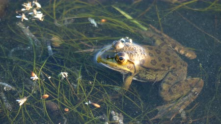 bullfrog : Frog laying on the surface of the water. Stock Footage