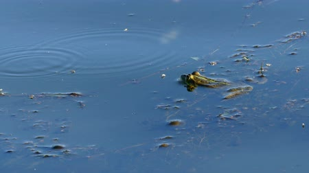 partially : Frog laying on the surface of the water. Stock Footage