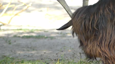 billy goat : A big black goat with high horns grazes grass on a lawn