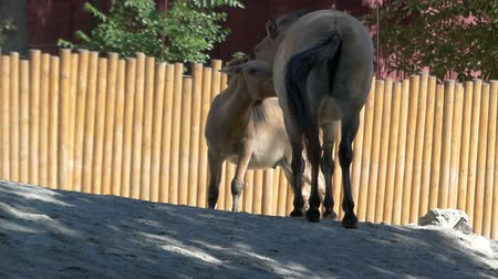 burro : A nice neddy licks the neck of its mother, a big donkey, in a zoo