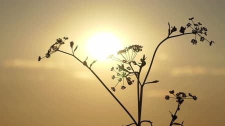erva doce : A dry fennel is seen in the rays of a splendid sunset in summer Vídeos