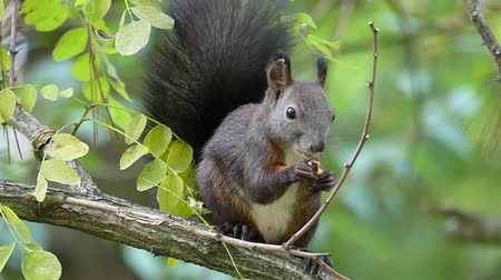 белка : A happy squirrel eats a cracked nut on a branch in slo-mo