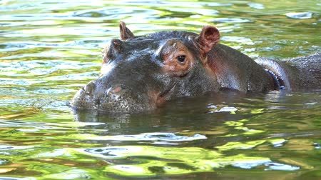hippopotamidae : a Happy Hippopotamus Relaxes in a Pond on a Sunny Day in Summer in Slow Motion