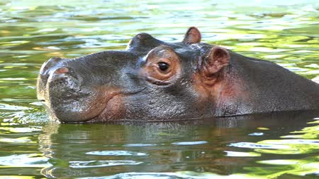 hippopotamidae : a Funny Hippopotamus Swims And Dives in a Pond in Summer in Slow Motion Stock Footage