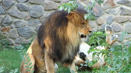 гул : a Male Lion Growls at a Second Female Lion And She Goes Away in a Zoo
