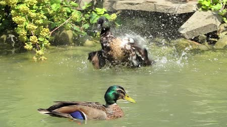 itself : Flock of multicolored ducks swim in a lake in summer in slo-mo