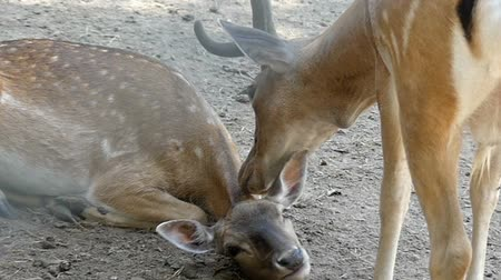 conhecido : A male spotted deer licks a female deer in summer in slo-mo