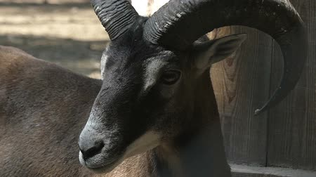 boynuzları : A brave black ram stands and looks right and left in a zoo in slo-mo