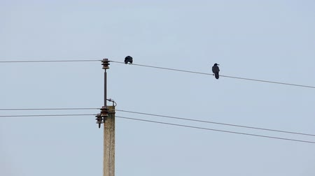 rook : Two rooks sit on electric wires connecting streetlamps Stock Footage