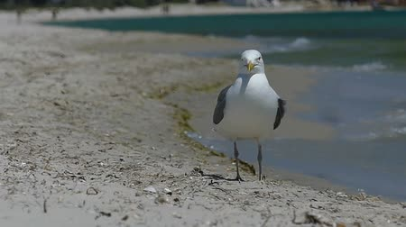 gaivota : A seagull strolls on the Black Sea coast on a sunny day in slo-mo Vídeos