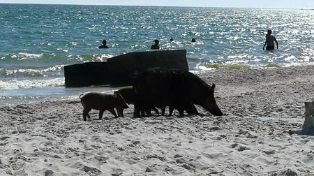 sereg : A farrow of piglets and a wild boar on a seacoast with people