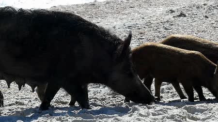 sereg : A wild boar with piglets walk on sandy eacoast in slo-mo
