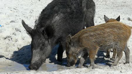 mud bath : A wild boar with piglets eat some food on sandy coast in slo-mo