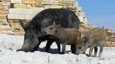 brute : A wild boar and piglets drink fresh water on sandy coast in slo-mo Stock Footage