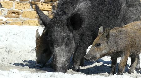 piglet : Big wild boar and piglets drink fresh water on a sea coast in slo-mo