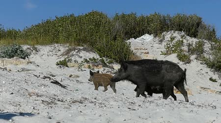 brute : A female wild boar walks with piglets on the sandy seacoast in slo-mo Stock Footage