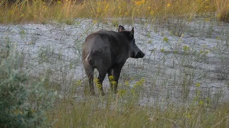 sereg : A small wild boar walks on the Black Sea coast in slo-mo Stock mozgókép