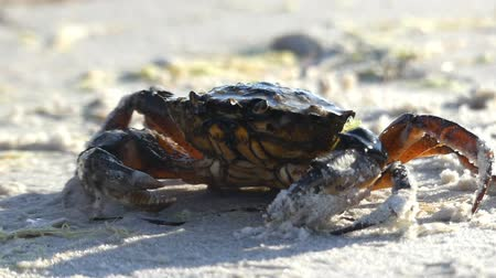 shellfish : A crab is under the flow of water on the Black Sea beach Stock Footage