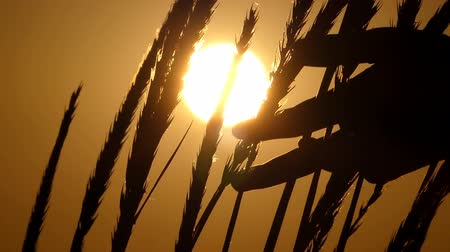 paleta : Spikelets of wheat swaying in the field at sunset