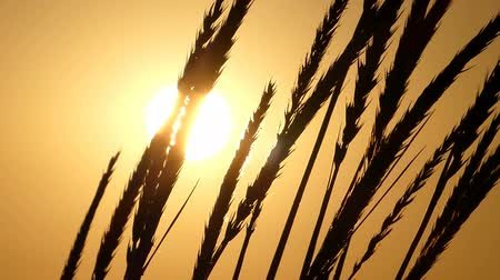 splendid : Ripe spikelets of wheat swaying in the field at sunset Stock Footage