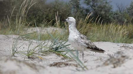 ot : A spotted seagull stands on a sandy coast in summer in slo-mo