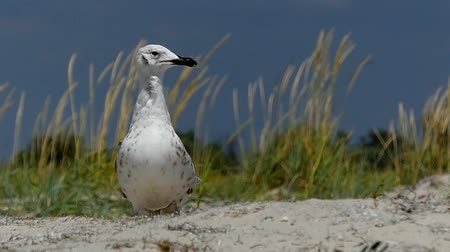 ot : A curious seagull stands on a sandy coast in summer in slo-mo Stok Video
