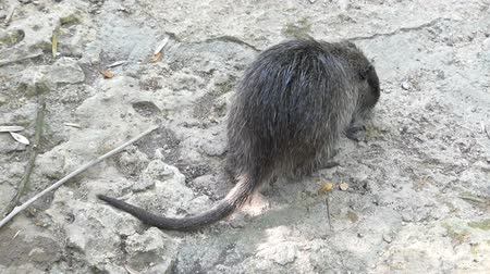 nutria : Big coypu scratches its throat with a paw in summer in slo-mo
