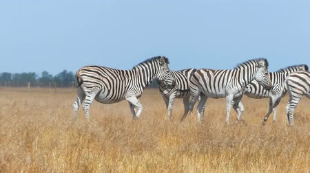 juba : Herd of zebras in a yellow steppe in Ukraine in summer in slo-mo Stock Footage