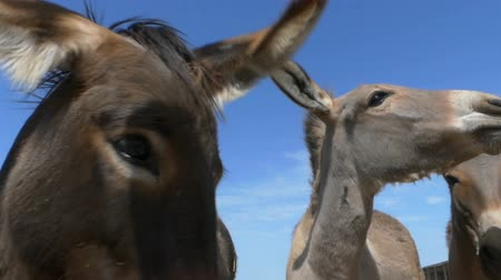 impressive skyline : Several donkeys eat bread from hands outdoors in slo-mo