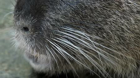 nutria : Hairy nutria eats something outdoors in summer in slo-mo