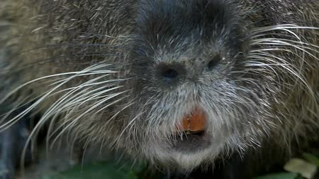 nutria : Funny nutria eats something outdoors in summer in slo-mo