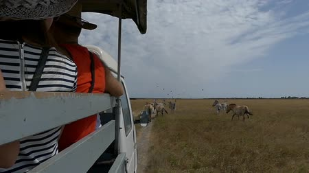 juba : A truck with tourist follow a herd of wild dzungarian horses in slo-mo