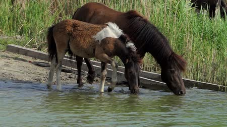 ivászat : A pony horse with a colt drinks water in a lake in summer in slo-mo Stock mozgókép