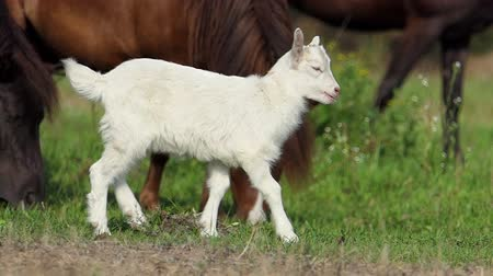 goatling : A white goatling grazes grass with a herd of ponies in slo-mo