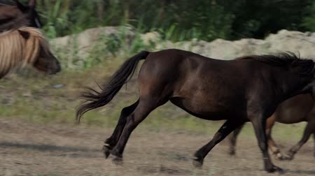 пони : Brown pony horse trots among its herd on a lawn in slo-mo
