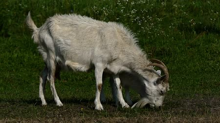 boynuzları : Nany goat and a goatling graze grass on a green lawn in slo-mo