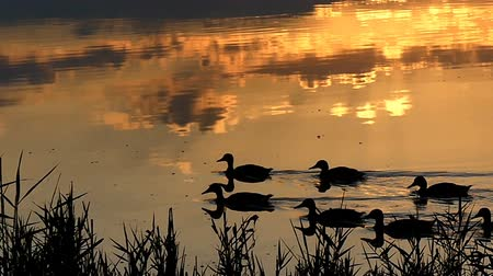 kamış : A flock of ducks swimming in a forest lake at sunset in slo-mo