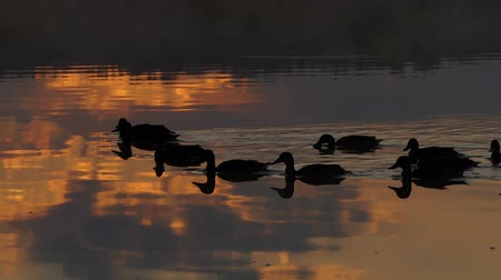 junco : A flock of brown ducks swim in a lake at sunset in slo-mo